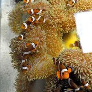 イソギンチャク バナナ イソギンチャクの飼育方法は簡単!餌の頻度や食べ方も紹介